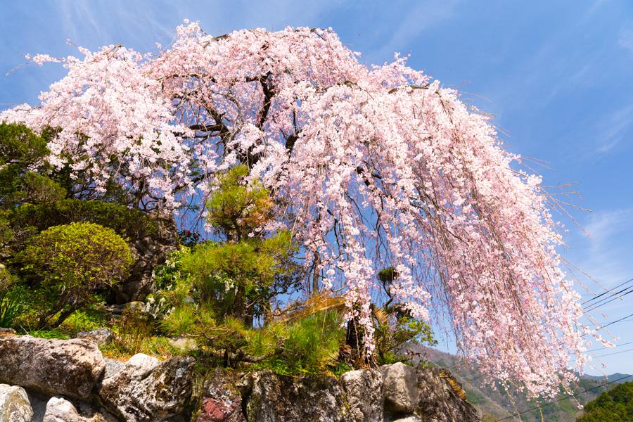 大石家のしだれ桜 | 観光スポット | 一般社団法人 仁淀ブルー観光協議会